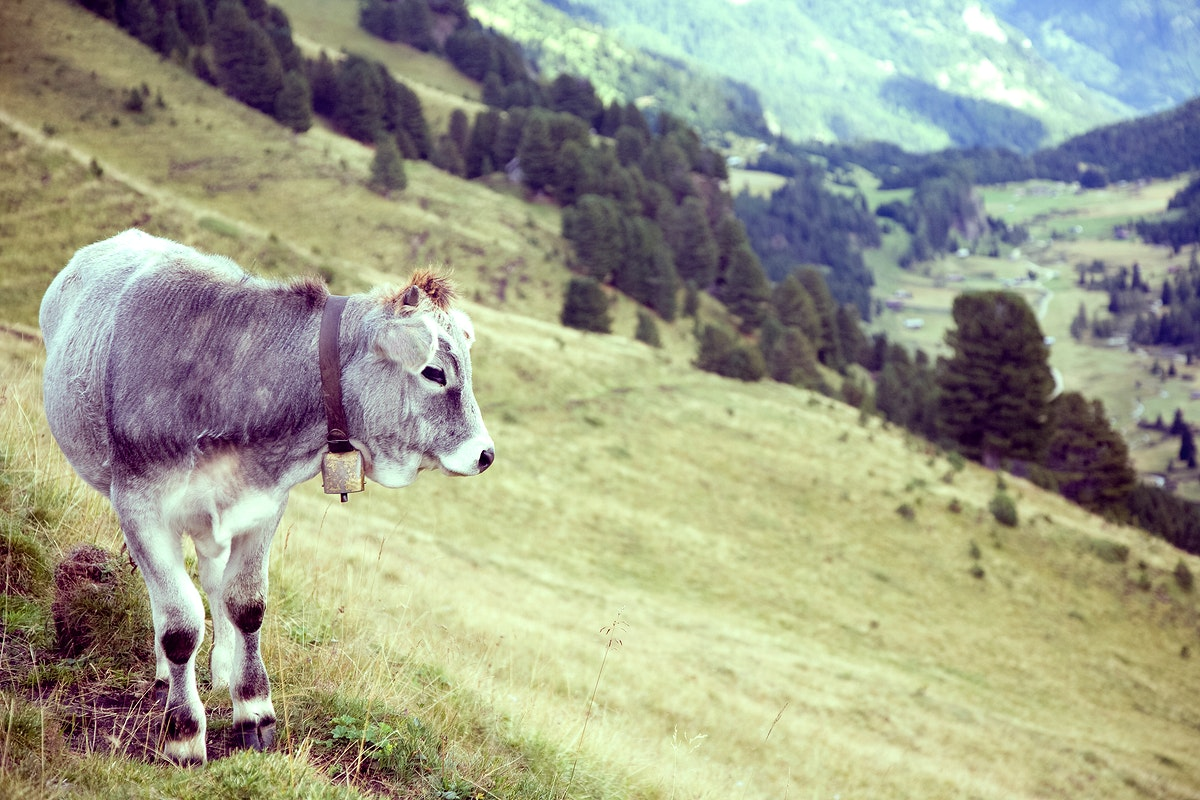 A cow in a greeny mountain field
