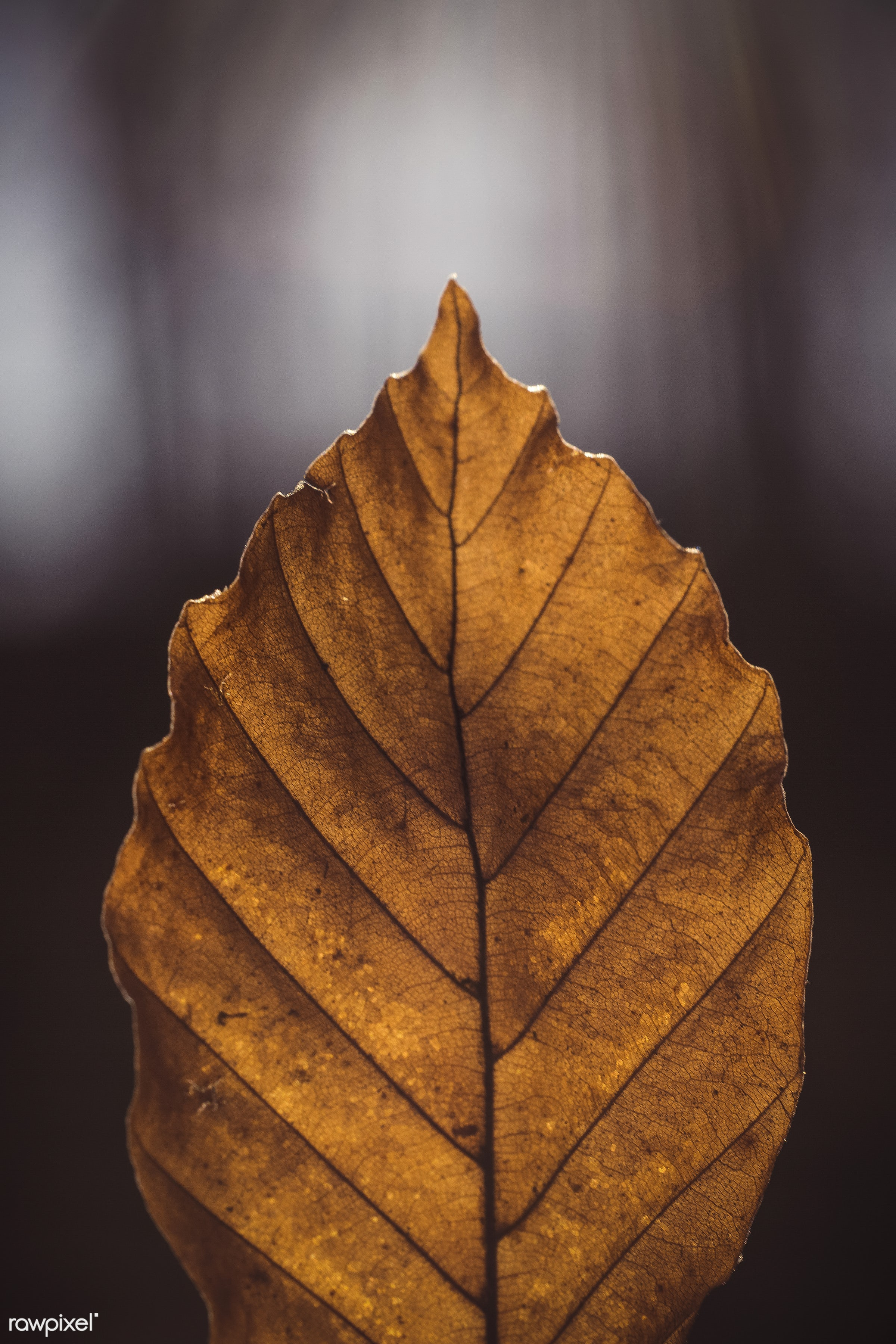 Yellow elm leaf - texture, autumn, botany, cc0, color, dry, fall, forest, leaf, natural, nature, october, season, september...