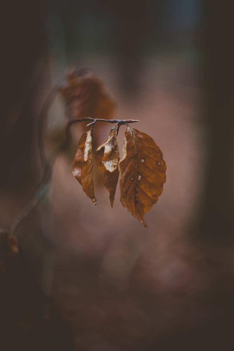 Dried leaves on a branch