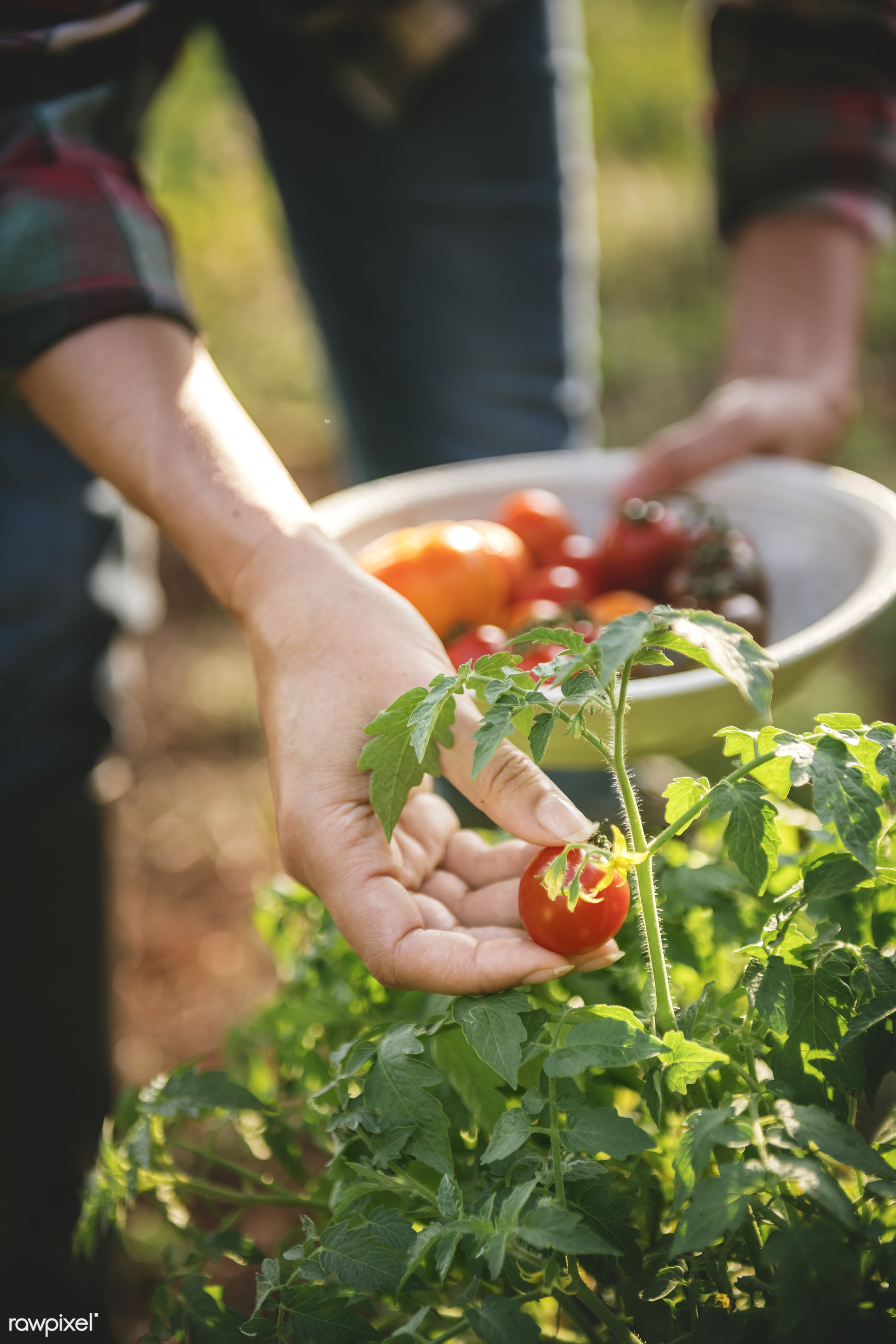 Picking fresh tomatoes - agriculture, background, cherry tomato, collect, crop, diet, edible, farm, farmer, farming, food,...