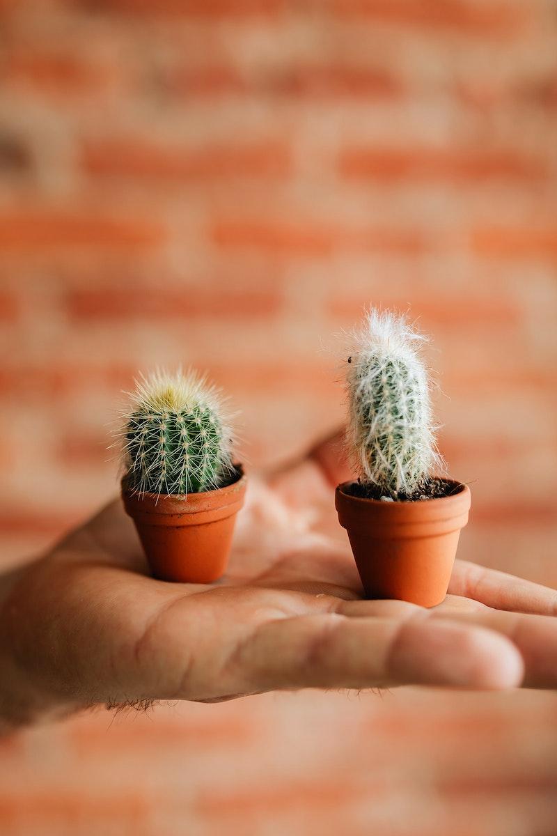 Cute tiny cacti on a hand
