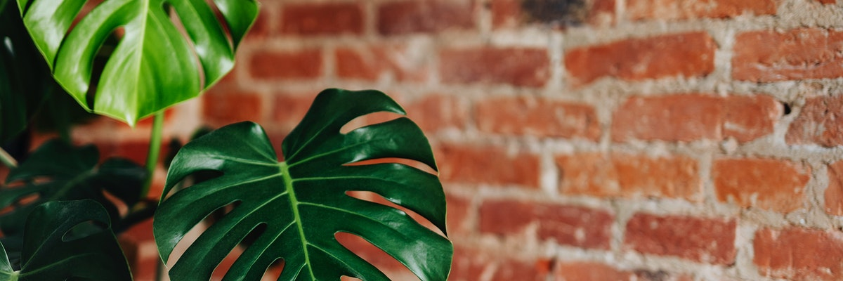 Monstera plant with a brick wall social banner