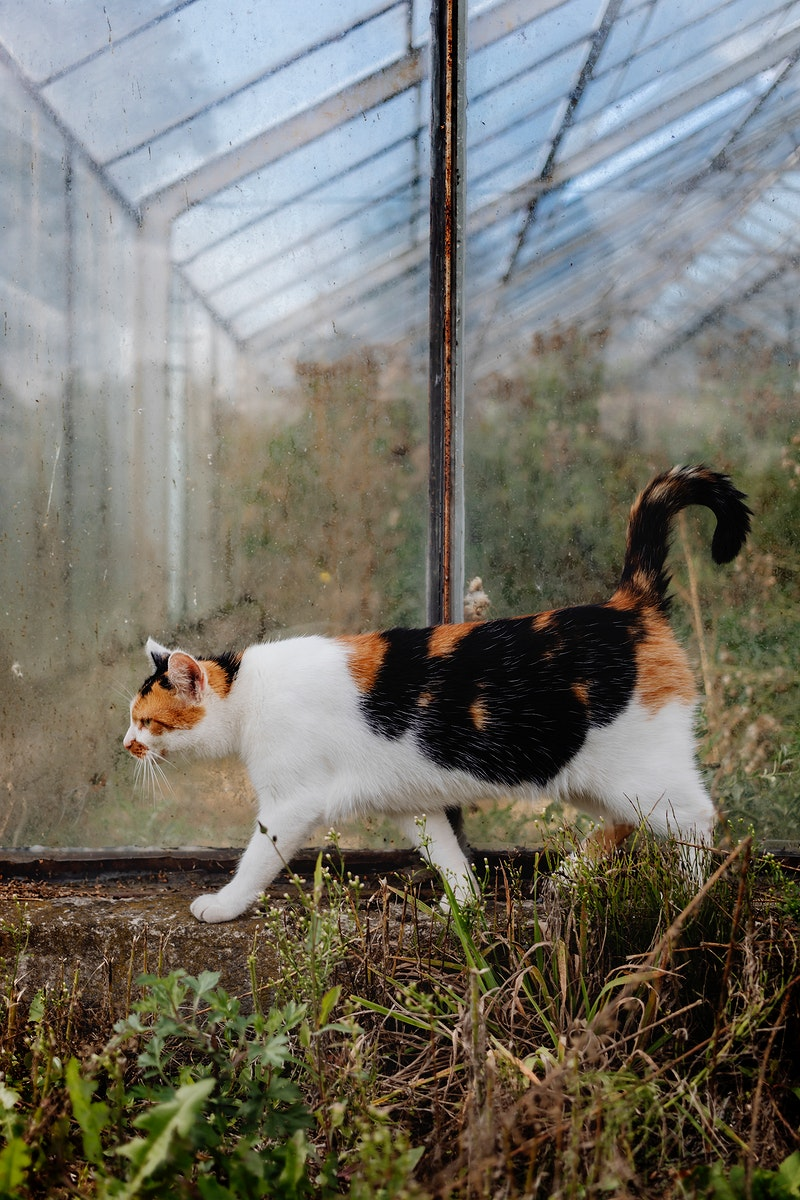 Domestic cat walking near an old glasshouse