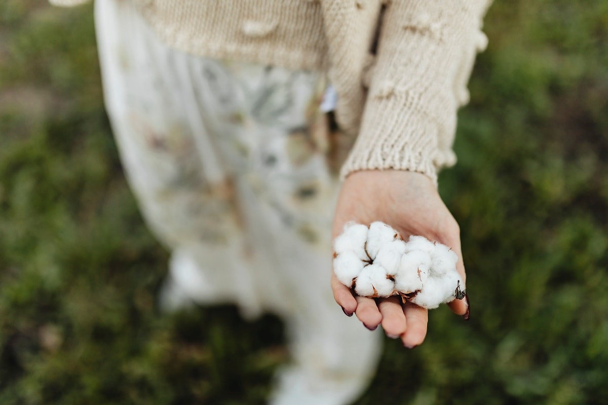 Cotton flowers on a woman's hand
