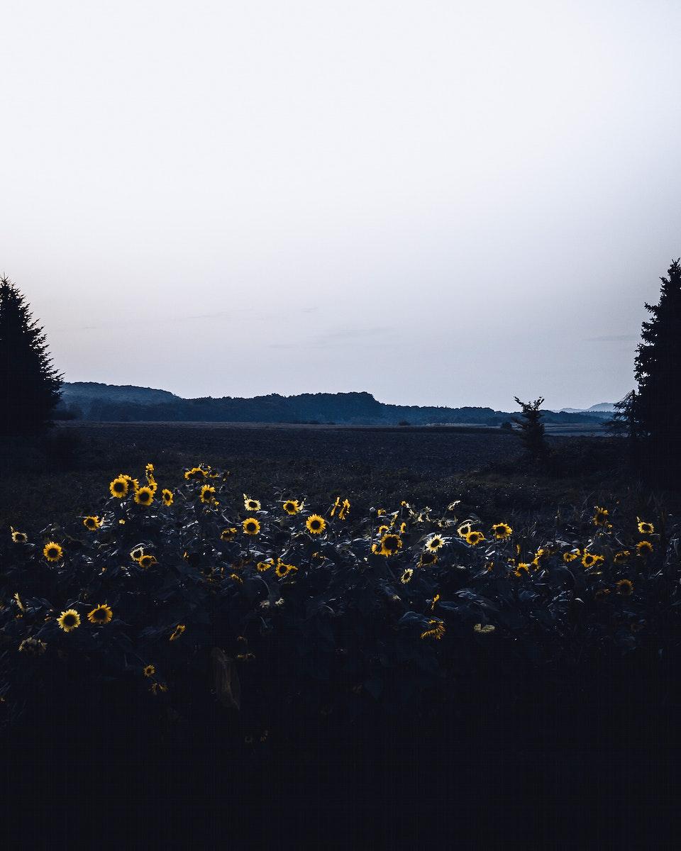 Sunflowers at dusk in Illingen, Baden-Wurttemberg, Germany