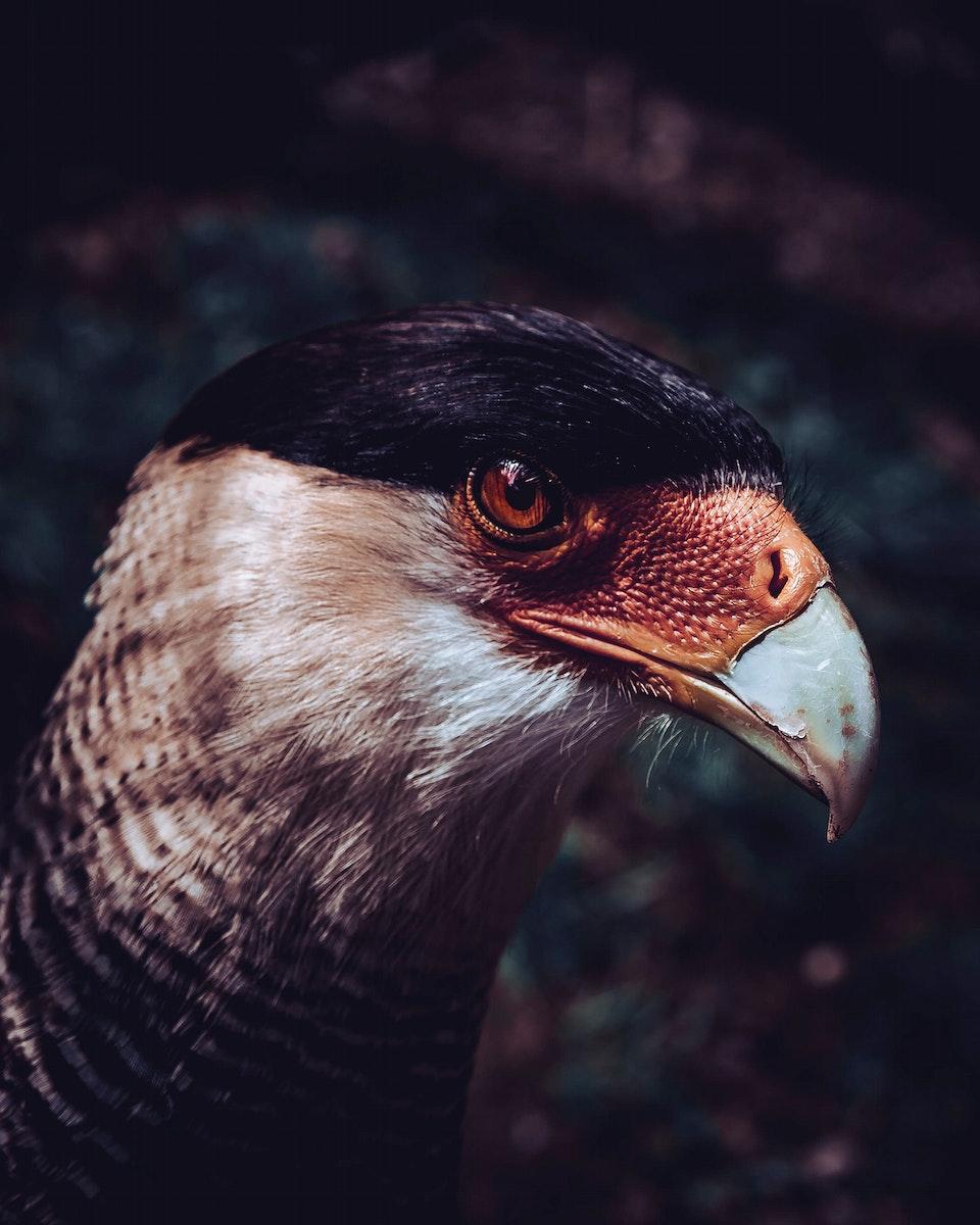 Closeup of a falcon at Wildparadies Stromberg wildlife park, Germany