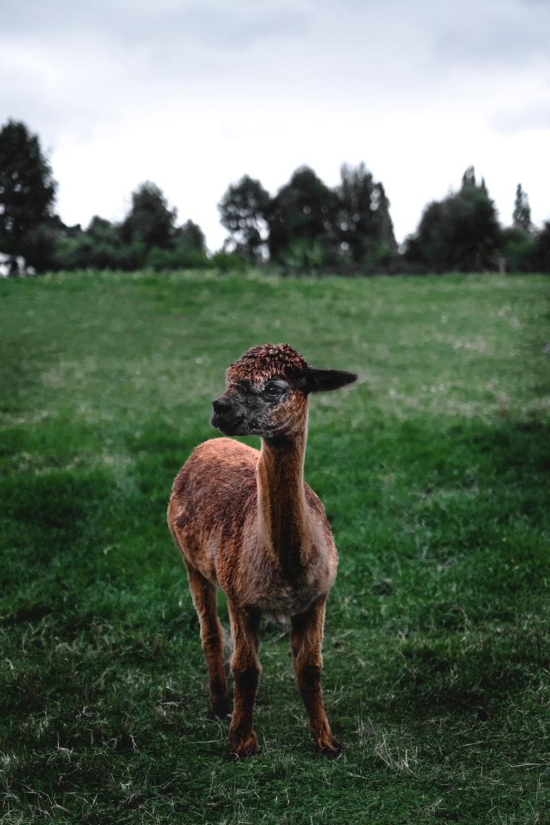 Baby llama in a green field in New Zealand
