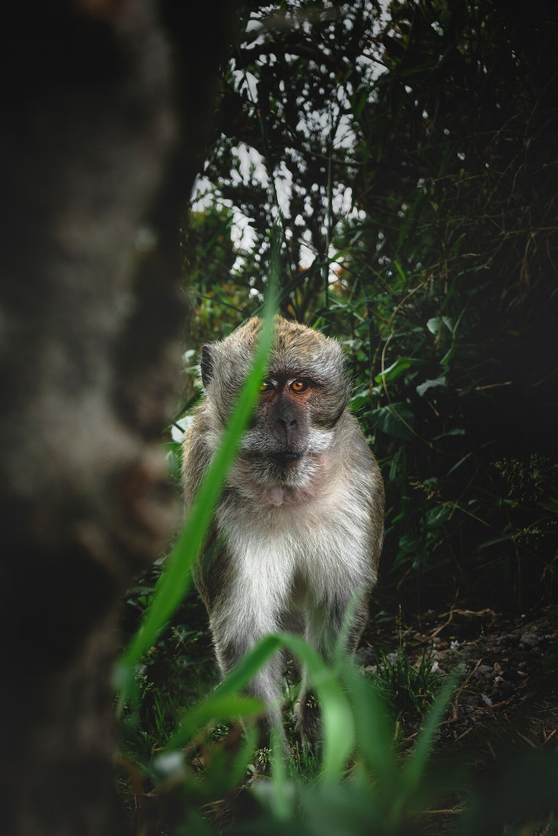 Guenon monkey in the jungle of Indonesia