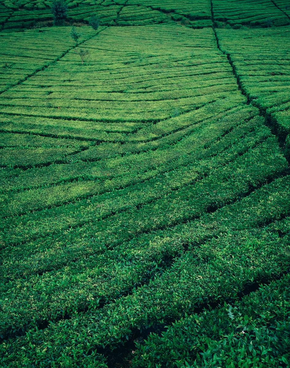 Tea fields on West Java, Indonesia