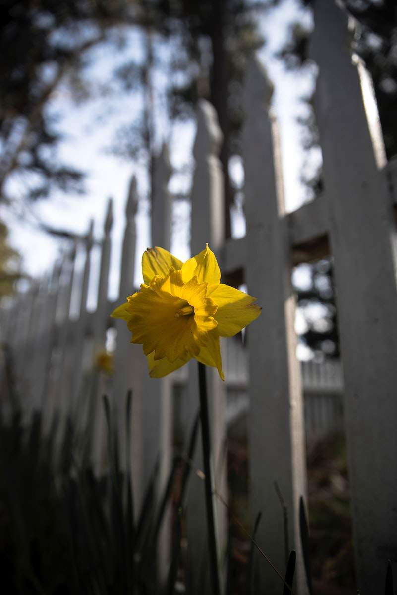 Easter Lily by a white fence