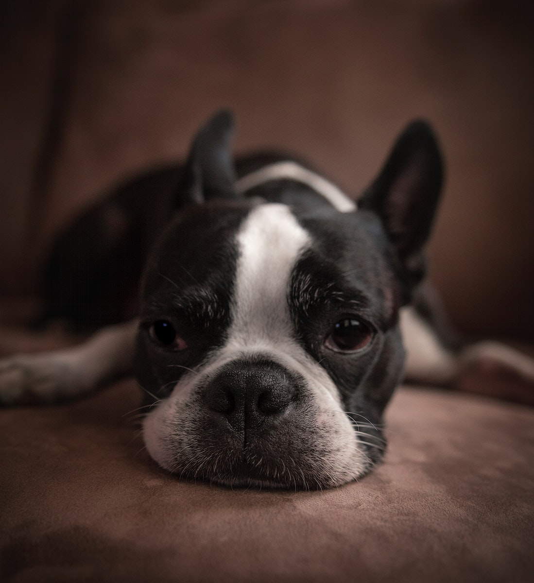 Young Boston Terrier lying on a couch