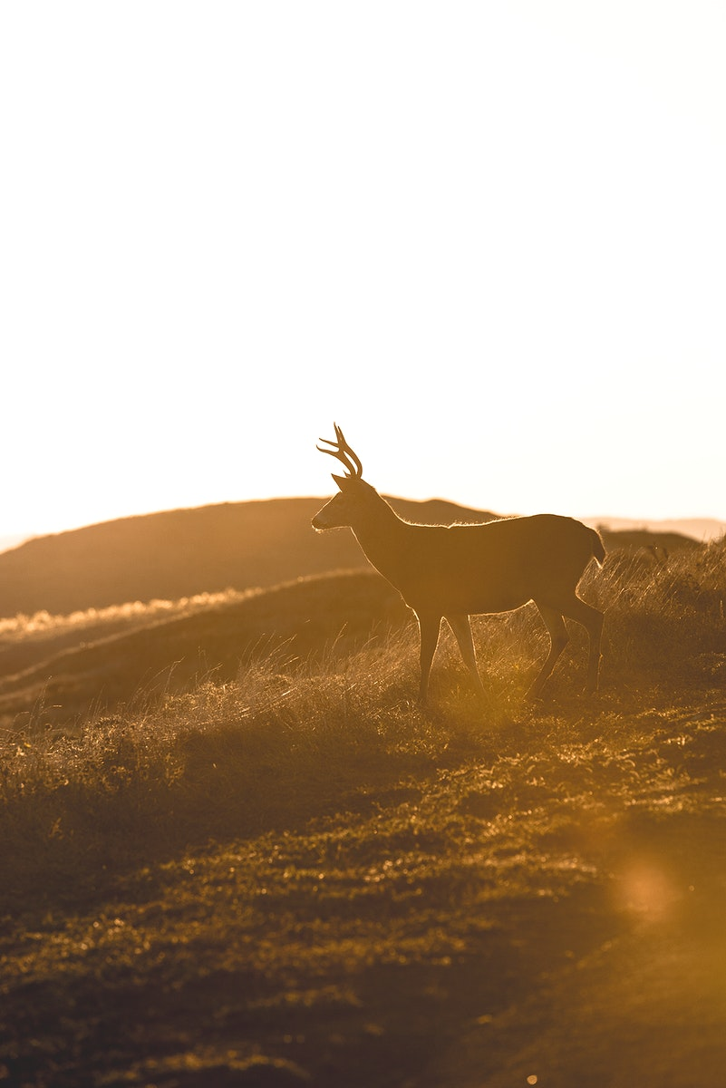 Male Columbian black-tailed deer on the roadside of Point Reyes National Seashore in California, USA