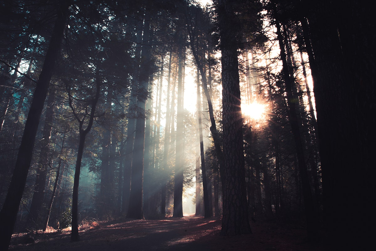 Sunlight through the forest at Yosemite National Park in California, USA