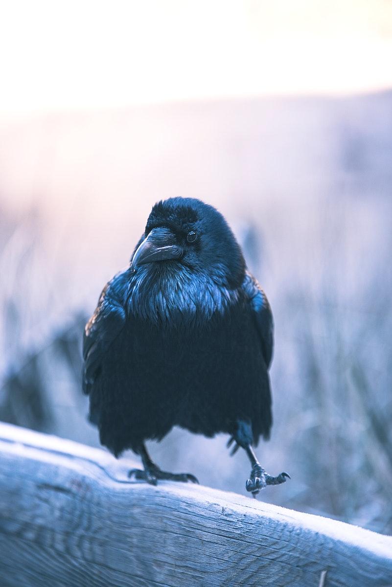 Common Raven at Yosemite Valley, California USA