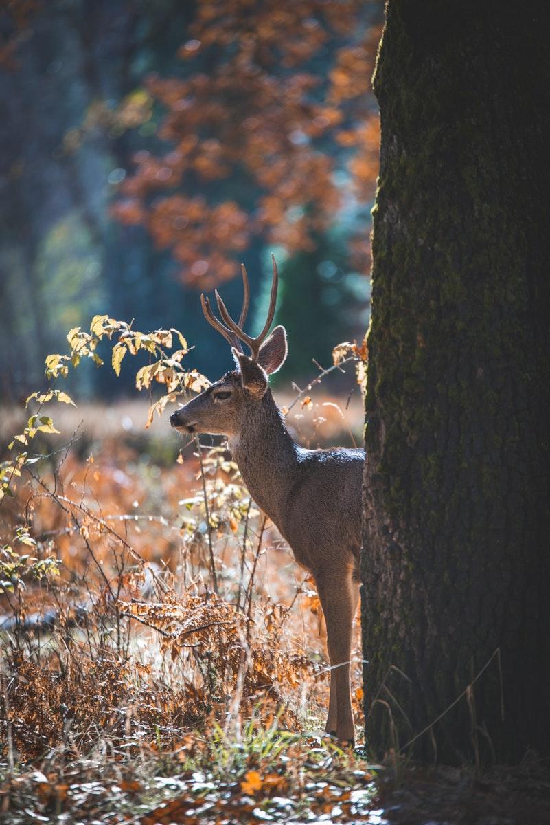 Male deer at Yosemite Valley in California, USA