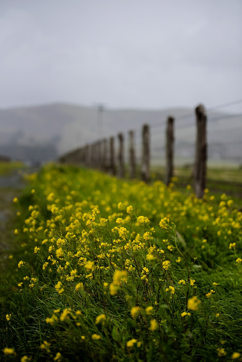 Field of flowers in Altamont Pass Road, Livermore, United States