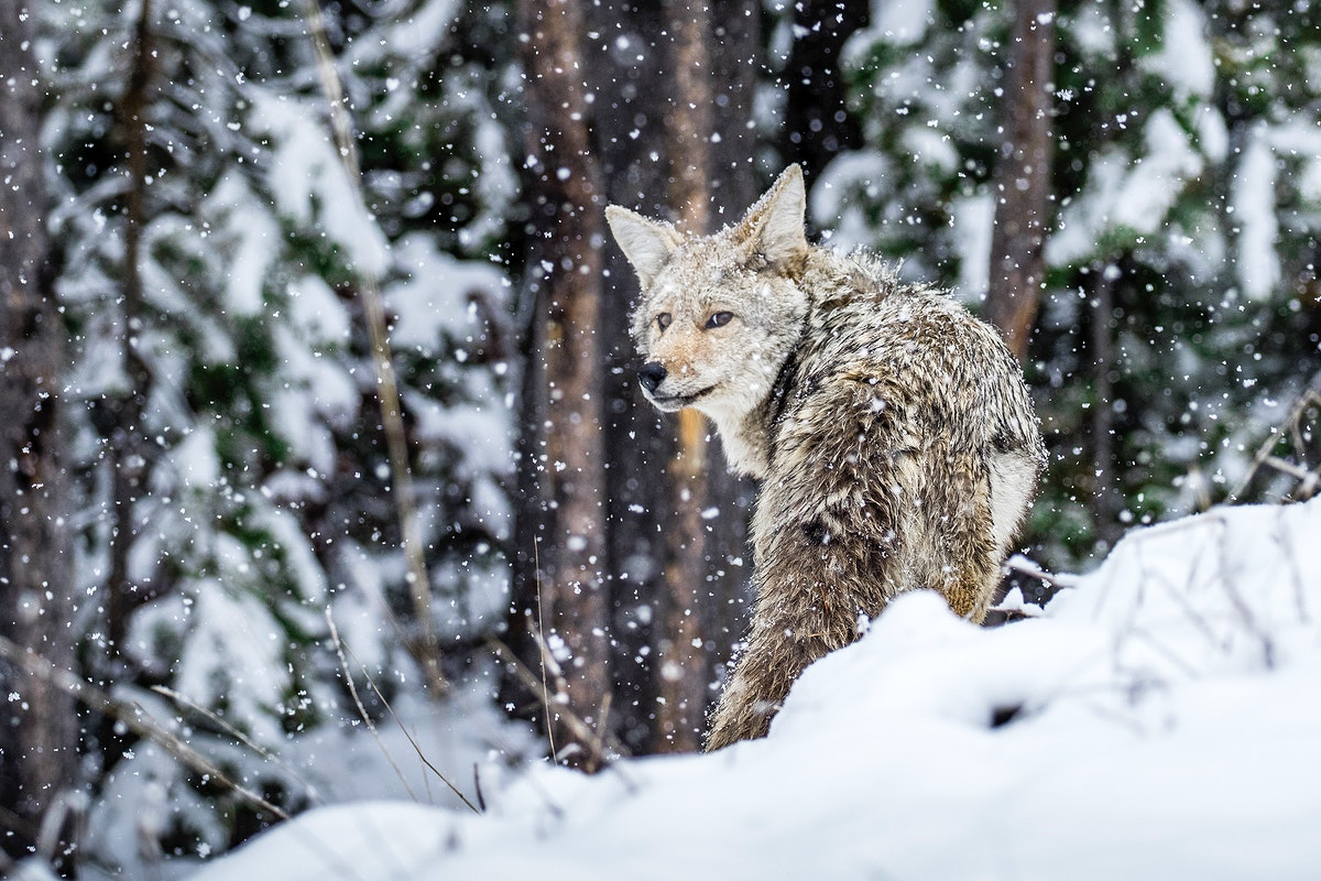 Coyote in a snowy Yellowstone National Park, North America