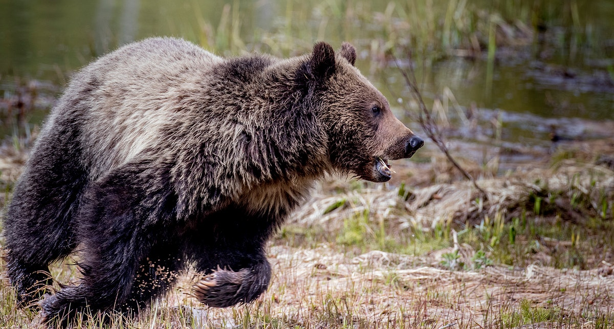 Grizzly bear roaming through Yellowstone National Park, United States