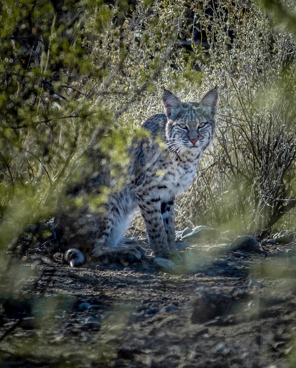 Bobcat on Big Bend National Park, Texas