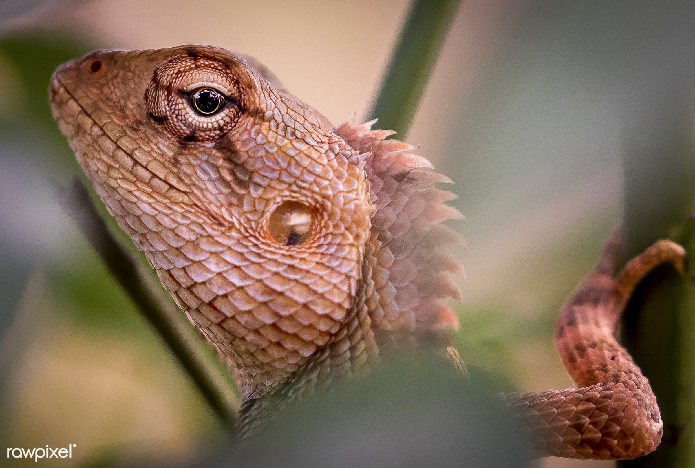 Closeup of an Iguana - lizard, pet, america, american, animal, close up, closeup, cold blood, iguana, natural, nature,...