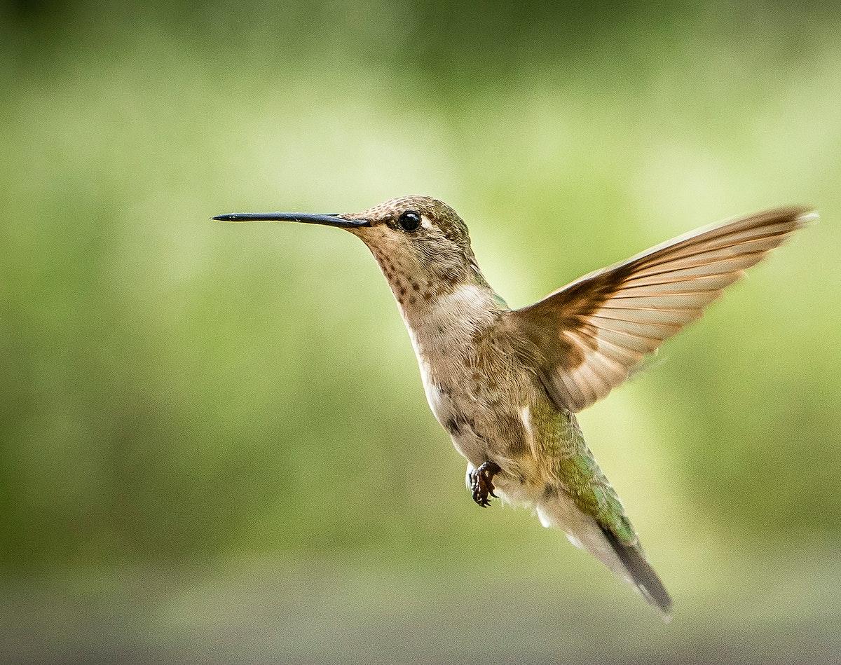 Tiny Hummingbird hoovering in mid air