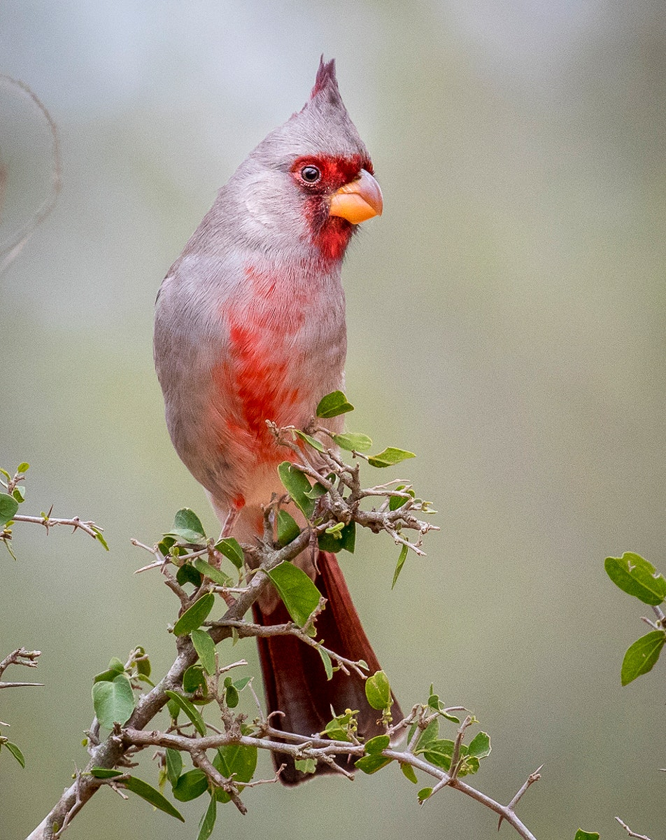 Desert Cardinal (Pyrrhuloxia) in South Texas, United States
