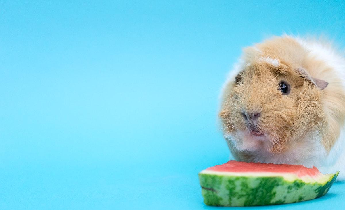 Little Guinea Pig eating a watermelon