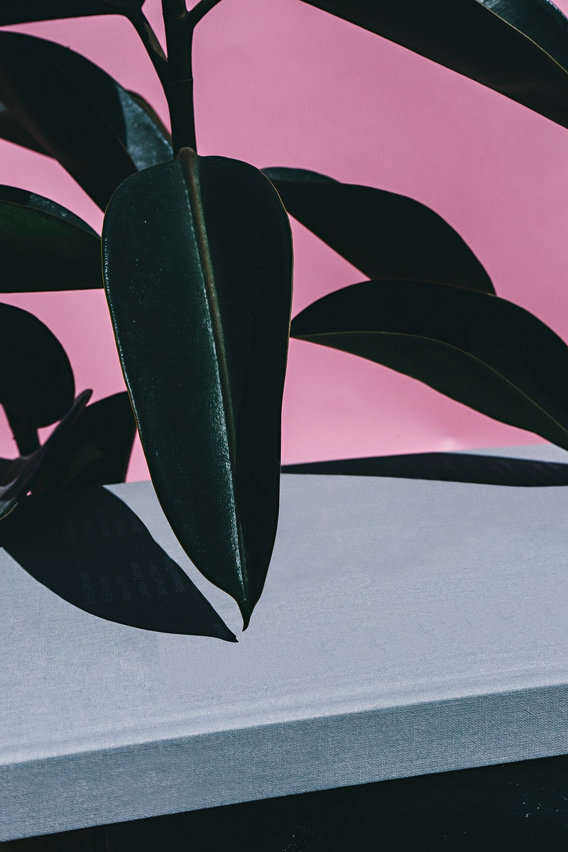 Close up of indoor Rubber Plant