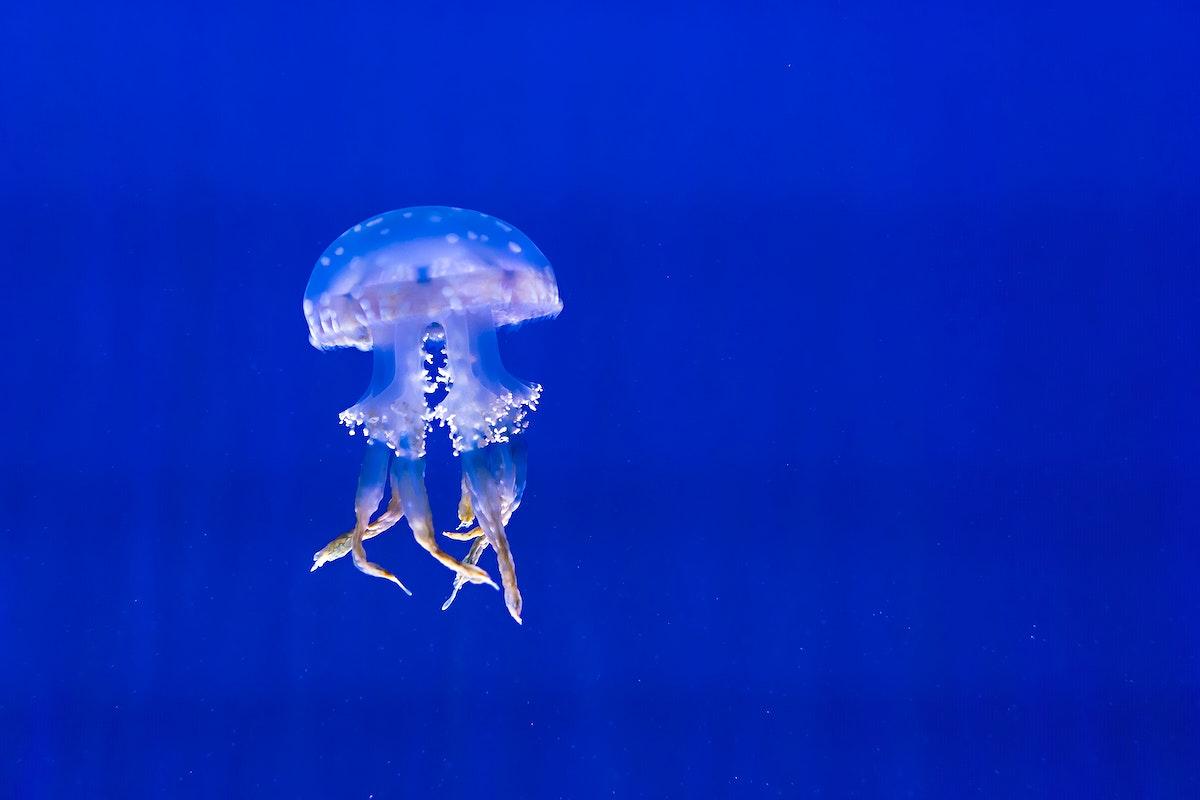 Jellyfish in the deep blue sea