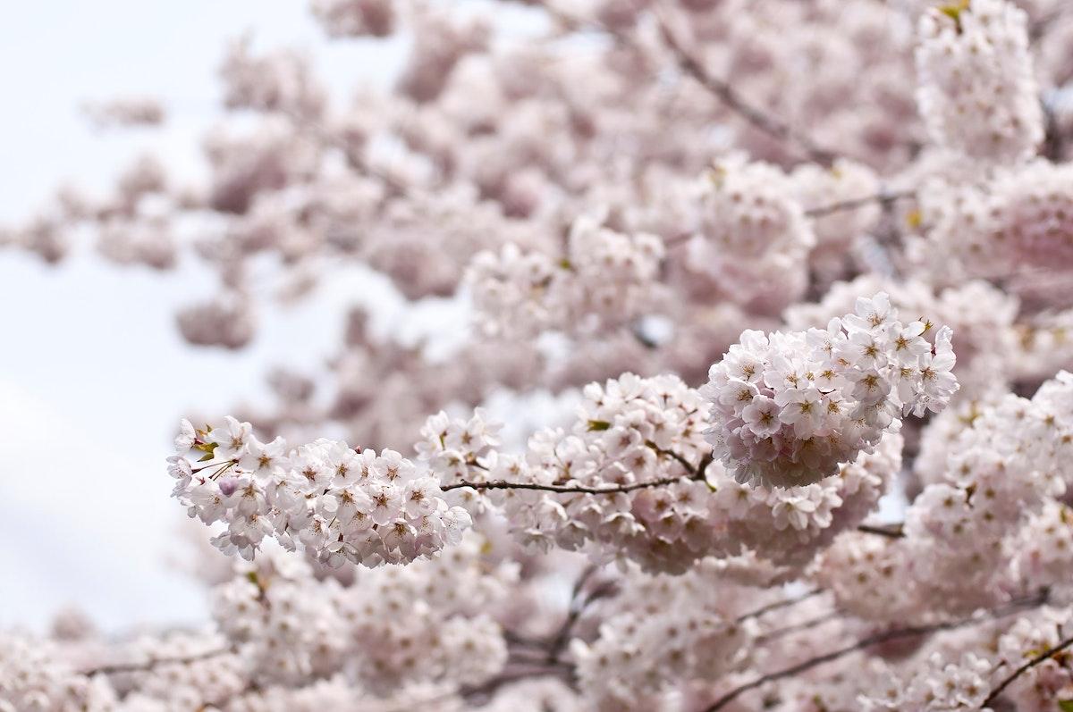 Tree in bloom, London, Canada