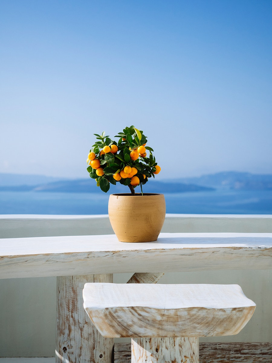 Orange tree with view of mountains in Santorini, Greece