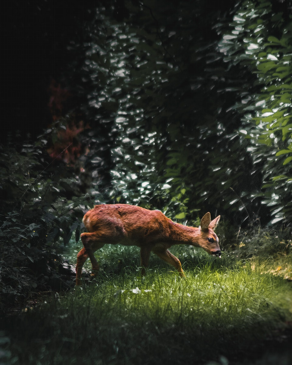 Fawn looking walking on the grass at Grayshott in England