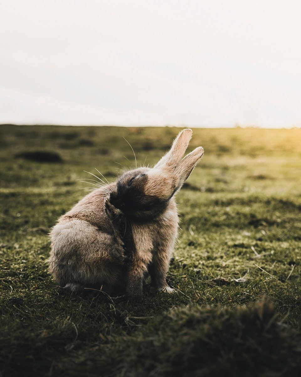 Wild rabbit in the morning at Reykjavik, Iceland