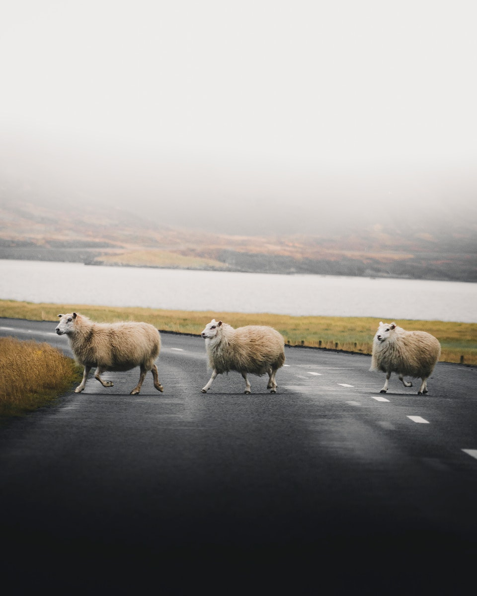 Furry sheep on the move in the Icelandic nature