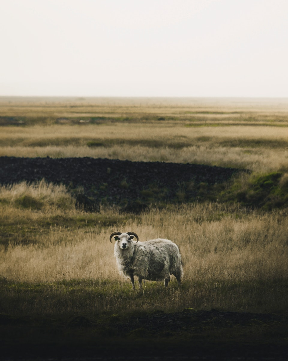 Male sheep alone in the wild of Iceland