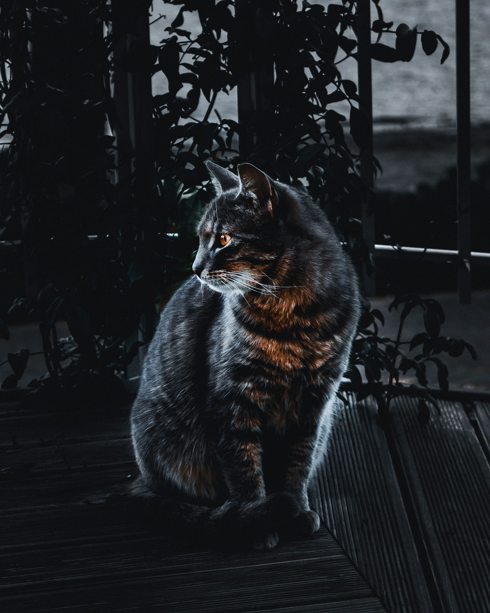 House cat in the dark of the night