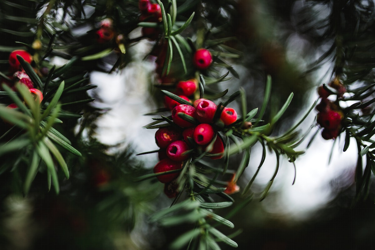 Pine tree Christmas wreath. Visit Kaboompics for more free images.