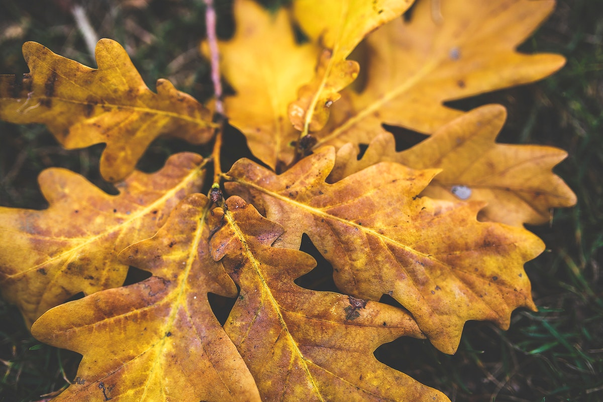 Oak foliage during autumn. Visit Kaboompics for more free images.