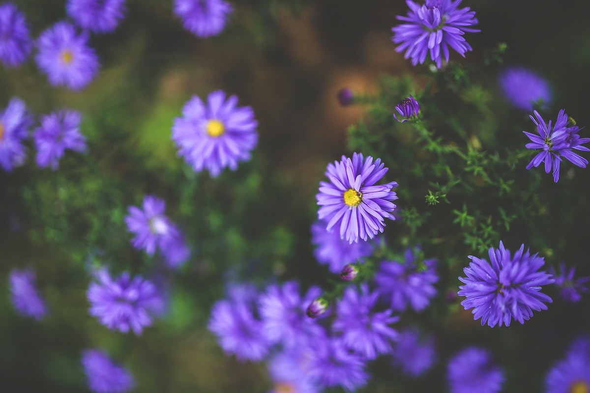 Blooming purple flowers. Visit Kaboompics for more free images.
