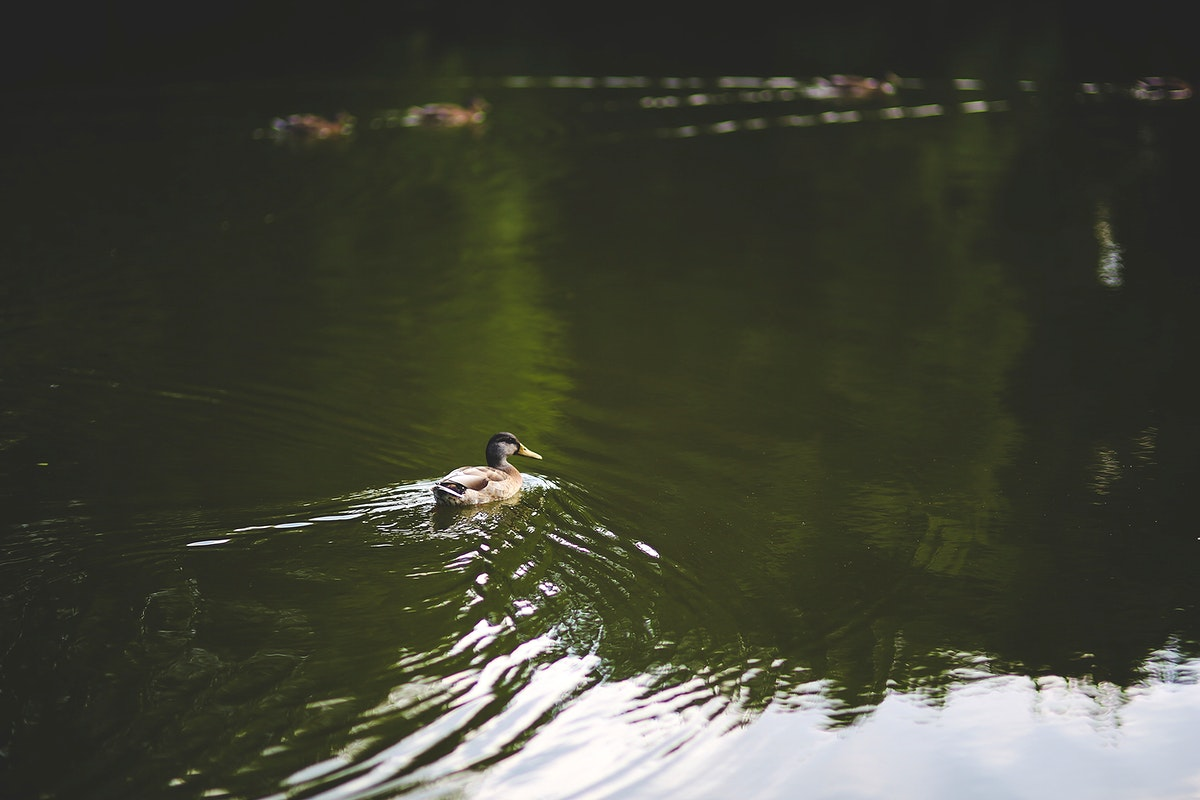 Ducks swimming on a pond. Visit Kaboompics for more free images.