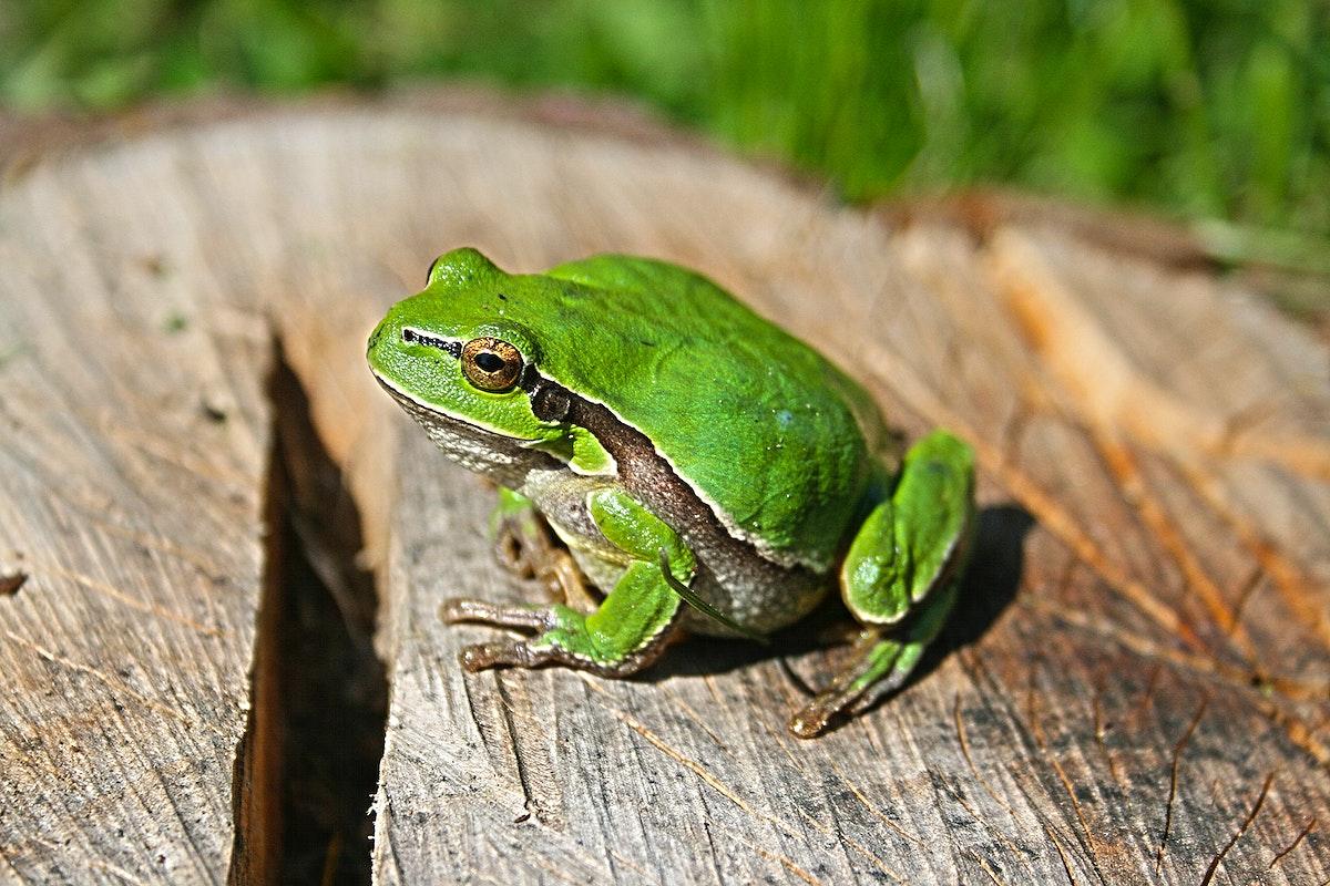 Closeup of a green chorus frog. Visit Kaboompics for more free images.