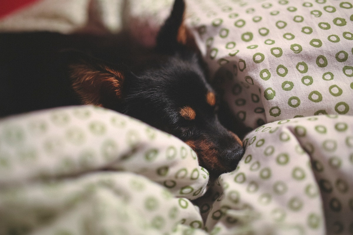 Small black dog lying in a bed. Visit Kaboompics for more free images.