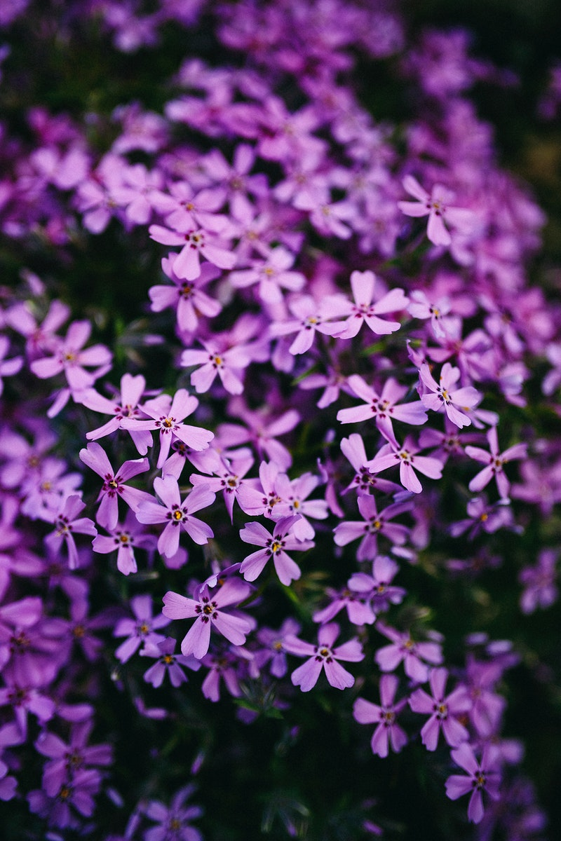 Close up of blue phlox flowers. Visit Kaboompics for more free images.