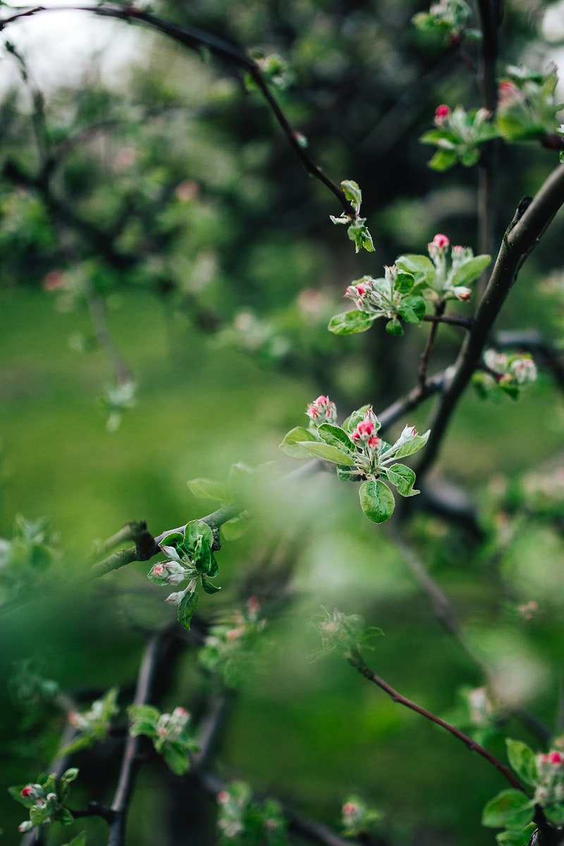 Apple tree in bloom. Visit Kaboompics for more free images.