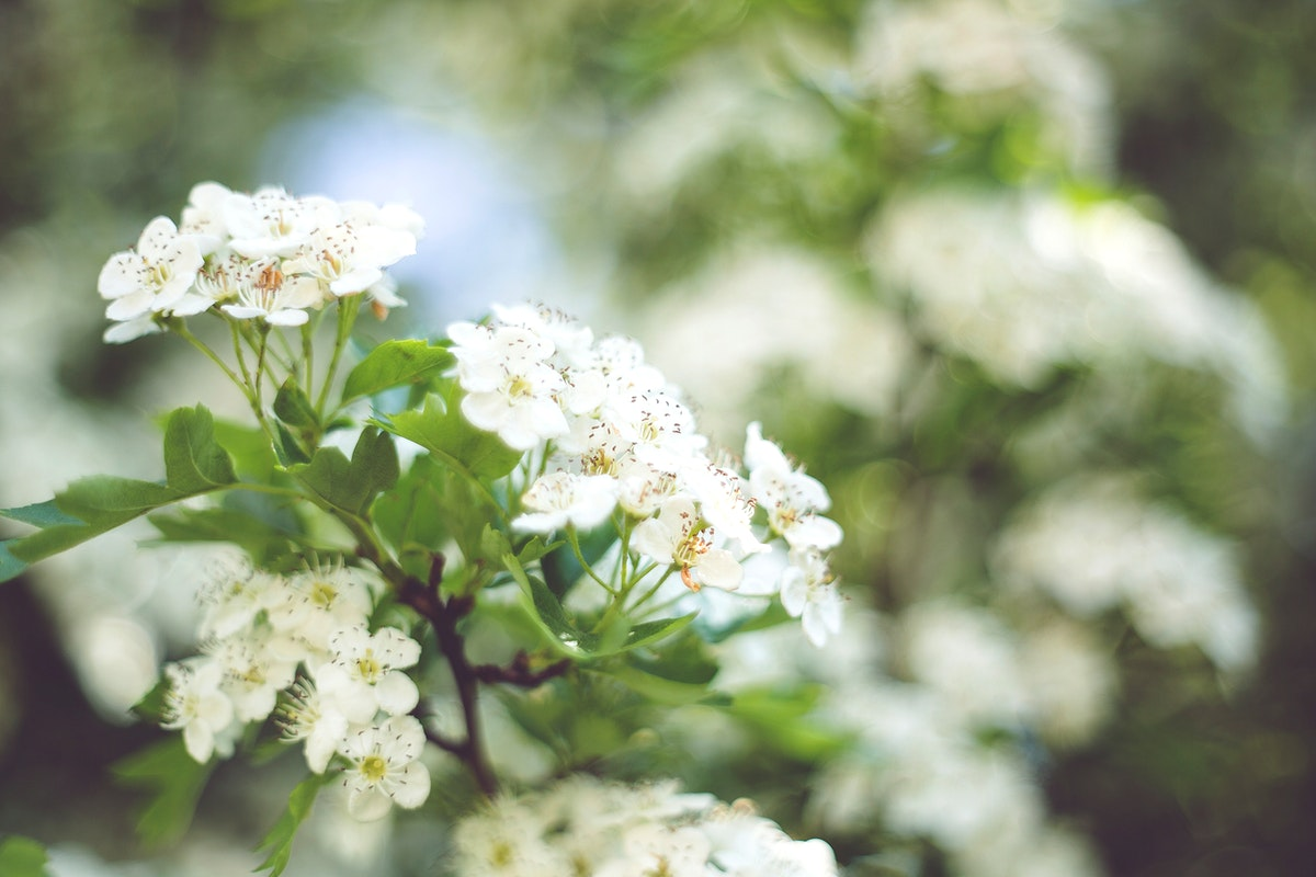 Spring background with white flowers and bokeh