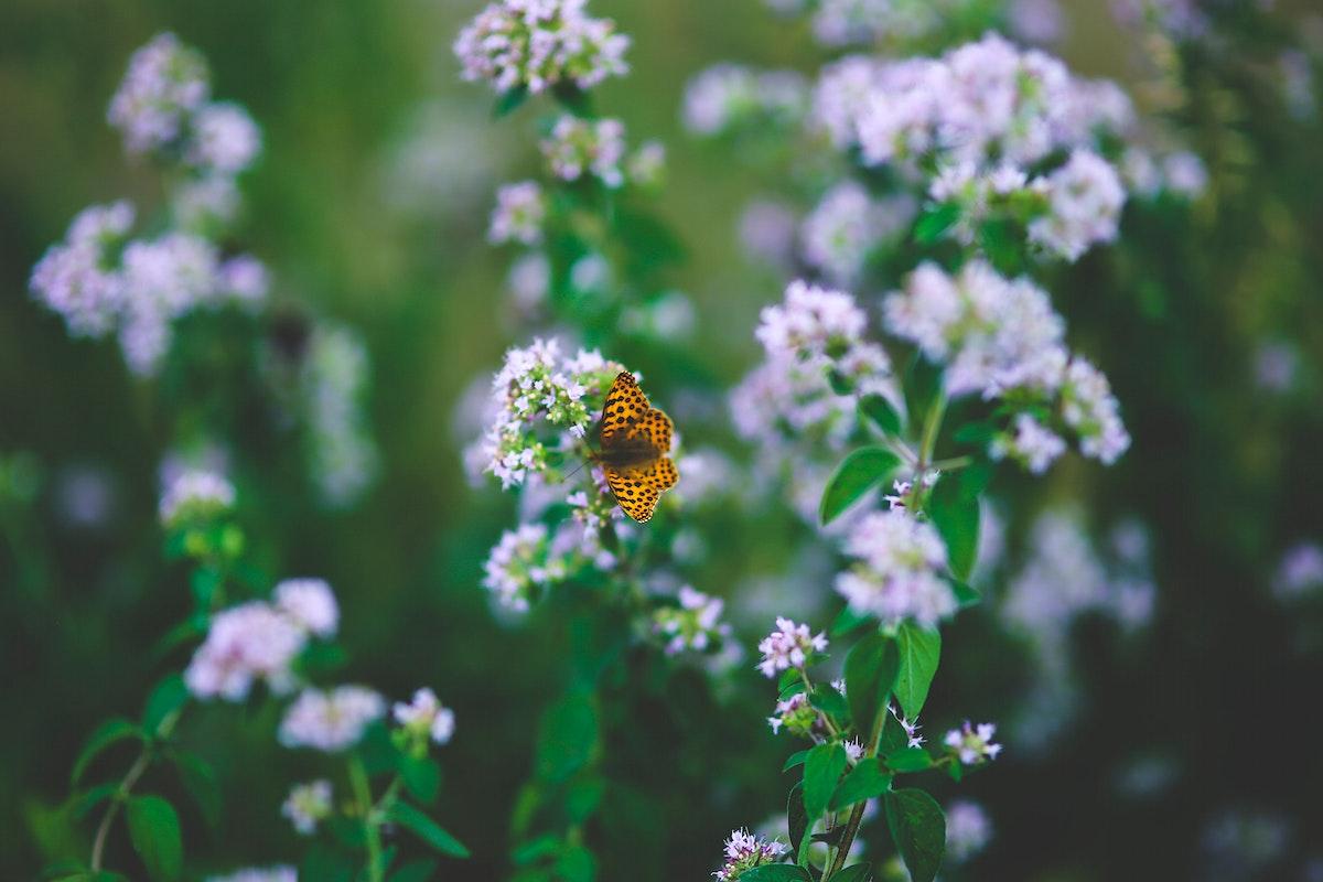 Blooming oregano herbs. Visit Kaboompics for more free images.