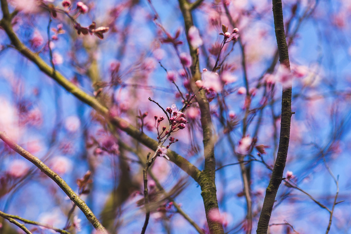 Pink blossoms on a tree in spring. Visit Kaboompics for more free images.
