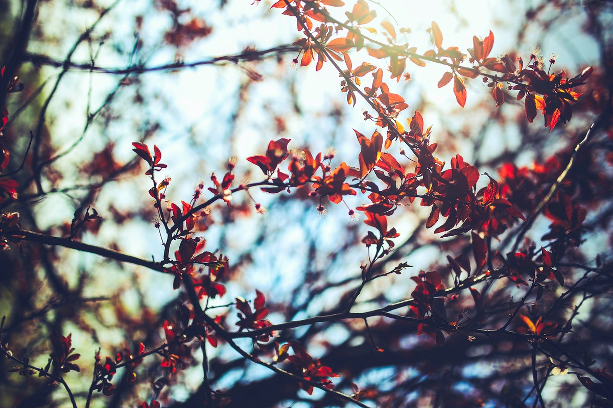 Cherry plum leaves. Visit Kaboompics for more free images.