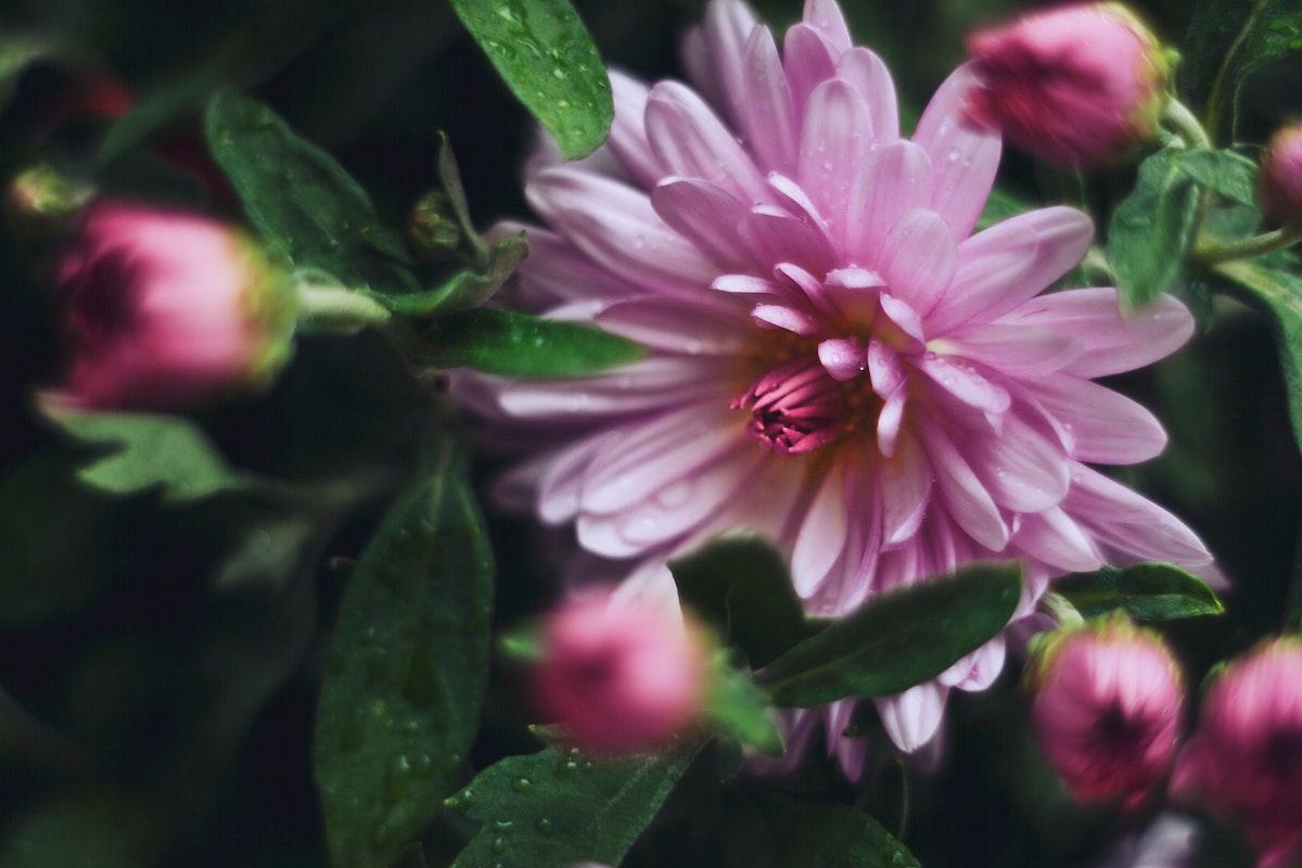 Chrysanthemum flowers in bloom. Visit Kaboompics for more free images.
