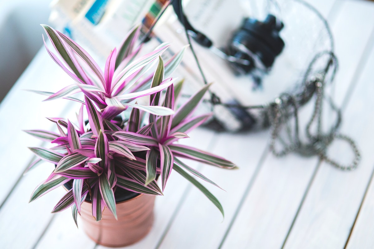 Purple houseplant. Visit Kaboompics for more free images.